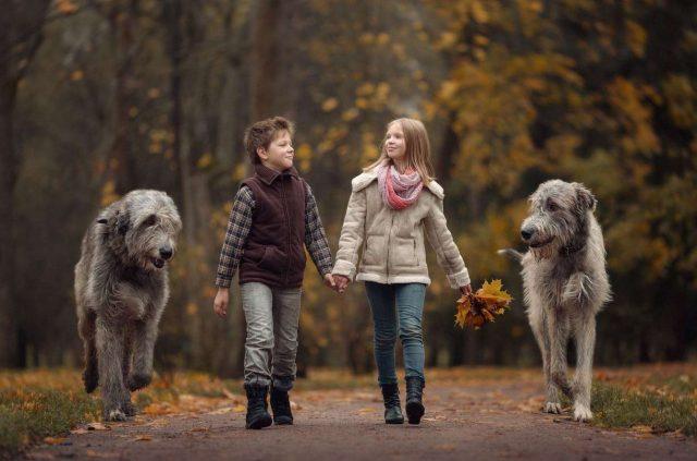 Photo of Ирландский волкодав – фото, история и описание породы собак
